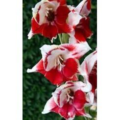 Gladiolus Bizar