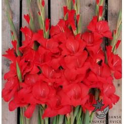 Gladiolus Mascagni