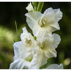 Gladiolus Snowy Ruffle
