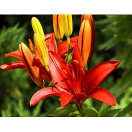 Lilium asiatica, Marianne Timmer