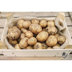 Solist Læggekartofler