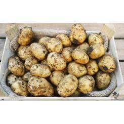 Hamlet Læggekartofler