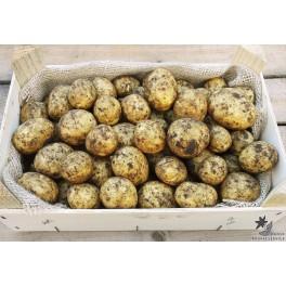 Gala Læggekartofler