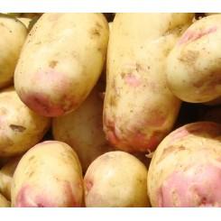 King Edward Læggekartofler