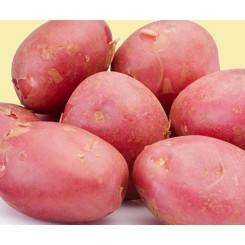 Desiree Læggekartofler
