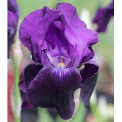 Iris Sable