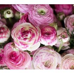 Ranunkel Picotee Pink & White