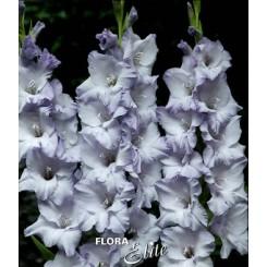 Gladiolus Triton