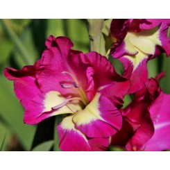 Gladiolus Flevo Laguna