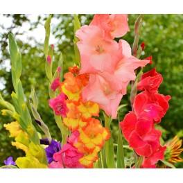 Gladiolus Mix, Storkøb 10/12