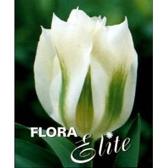 Tulipan Spring Green