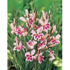 Gladiolus Impressive