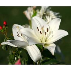 Lilium asiatica, Kent