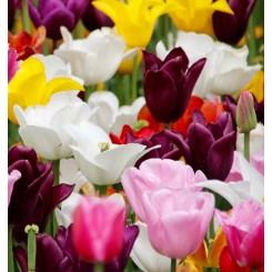 Tulipan Triumph Mix