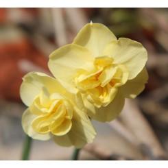 Dobbelt Påskelilje Yellow Cheerfulness