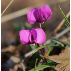 Cyclamen Coum ssp. Coum