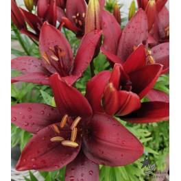 Lilium asiatica, Royal Kiss
