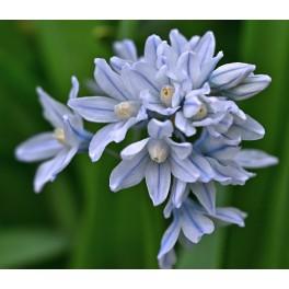 Porcelænshyacint, lyseblå