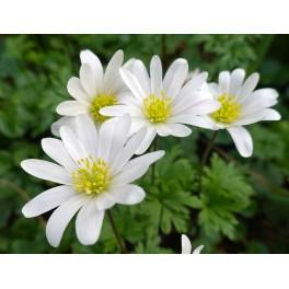 Balkananemone White Splendour