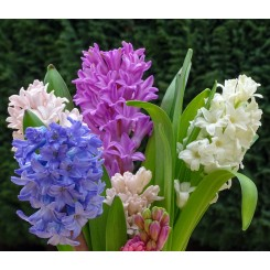 Hyacint Blanding