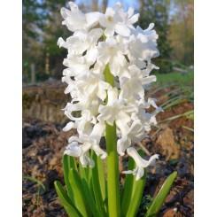 Hyacint til drivning, Hvid