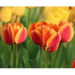 Tulipan Apeldoorn's Elite