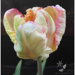 Tulipan Apricot Parrot