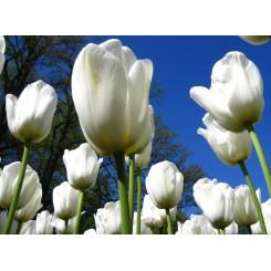 Tulipan Clearwater