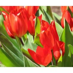 Tulipan praestans Zwanenburg