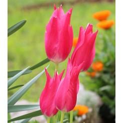 Tulipan Pretty Love