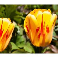 Tulipan Olympic Flame