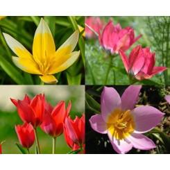 Botanisk tulipan Mix