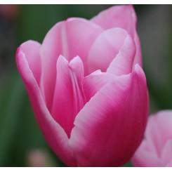 Tulipan Capri Dream