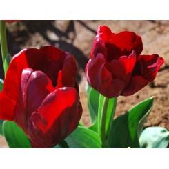 Tulipan Mascara