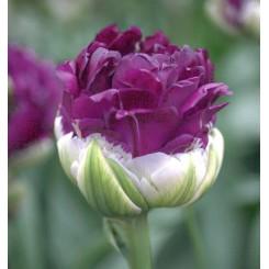 Tulipan Blue Wow