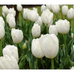 Tulipan White Flag