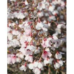 Prunus incisia ' Kojou No Mai'