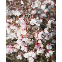 Prunus incisia ' Kojou No Mai'