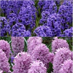 Hyacint Mix