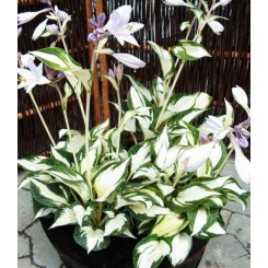 Hosta hybrid - Fire & Ice