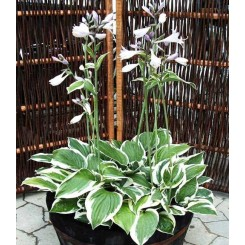 Hosta hybrid - Patriot