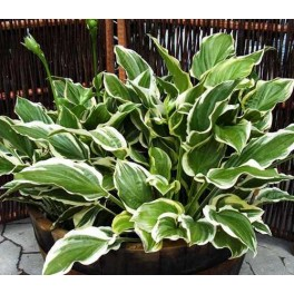 Hosta hybrid - So Sweet