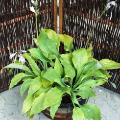 Hosta hybrid - Sum and Substance