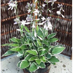 Hosta fortunei - Francee
