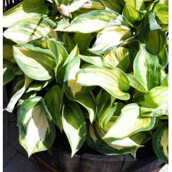 Hosta Selboldiana - Great Expectations