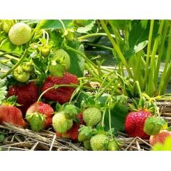 Jordbær, Korona