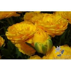 Tulipan Yellow Pomponette