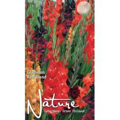 Gladiolus Red Blend