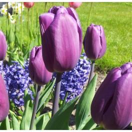 Tulipan Purple Flag