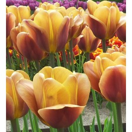 Tulipan Brown Sugar